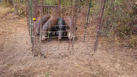 Hog ah hunting. Hogs tearing lovey crops up having to catch them Royalty Free Stock Photo