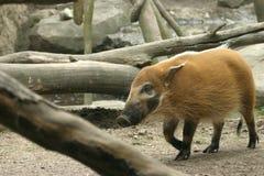 Hog, boar. Bronx zoo Stock Image