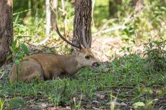 Hog deer Royalty Free Stock Image