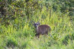 Hog deer Stock Photos