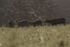 Hog deer Stock Photography