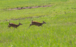 Hog deer Royalty Free Stock Images