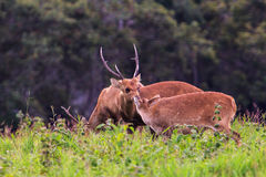 Hog deer Royalty Free Stock Photography