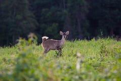 Hog deer Stock Photography