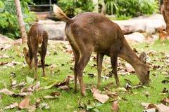 Hog deer. Close up The Hog deer Stock Image