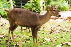 Hog deer. Close up The Hog deer Stock Images