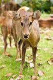 Hog deer. Close up The Hog deer Stock Photography