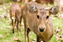 Hog deer. Close up The Hog deer Royalty Free Stock Image