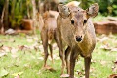 Hog deer. Close up The Hog deer Stock Photo