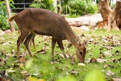 Hog deer. Close up The Hog deer Royalty Free Stock Photo