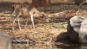 Hog deer eating grass food. stock video footage