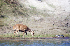 Hog deer eating in riverbank, Nepal Stock Images