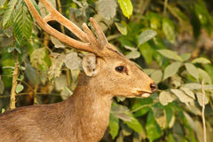 Hog deer Stock Image