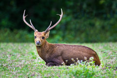 Hog deer on field, Phukhieo Wildlife Sanctuary Stock Photos