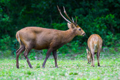 Hog deer on field, Phukhieo Wildlife Sanctuary Royalty Free Stock Photography
