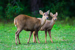 Hog deer on field, Phukhieo Wildlife Sanctuary Stock Images