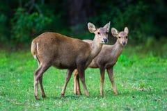 Hog deer on field, Phukhieo Wildlife Sanctuary Stock Images
