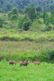 Hog deer on field, Phukhieo Wildlife Sanctuary Royalty Free Stock Photos
