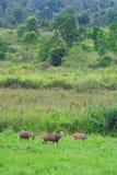 Hog deer on field, Phukhieo Wildlife Sanctuary Royalty Free Stock Photos