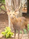 Hog deer. Royalty Free Stock Photography