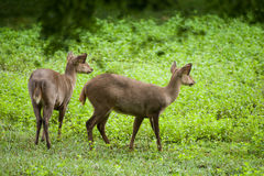 Hog deer free in the zoo Stock Photos