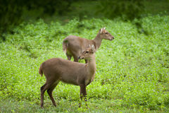 Hog deer free in the zoo Stock Image