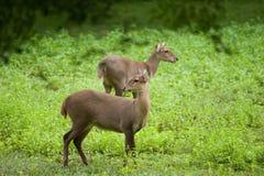 Hog deer free in the zoo Stock Image