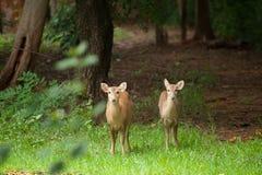 Hog deer free in the zoo Royalty Free Stock Photo
