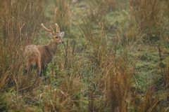 Hog deer on the grassland of Kaziranga in Assam.  royalty free stock photo