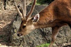 Hog deer Stock Images