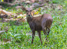 Hog deer(Hyelaphus porcinus) Stock Photography