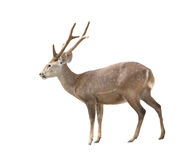 Hog deer Stock Photo