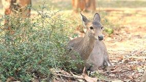 Hog deer. stock video
