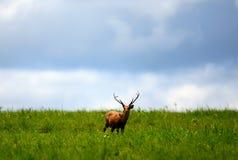 Hog deer Royalty Free Stock Images