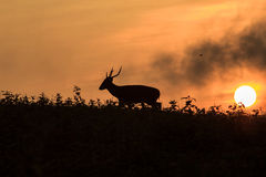 Hog deer Silhouette Royalty Free Stock Images