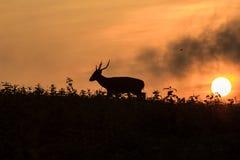 Hog deer Silhouette Royalty Free Stock Images