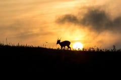 Hog deer Silhouette Royalty Free Stock Image