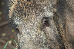 Hog eyes Royalty Free Stock Images