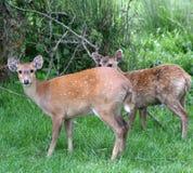 hog för 2 hjortar arkivfoto