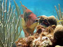 Hog fish. A hog fish displays its vivid red hunting colours as it browses over the reef looking for a snack.  The hog fish can change colour according to its Stock Images