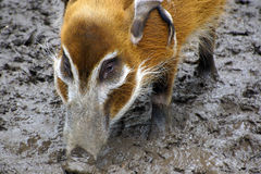 Hog Stock Photography