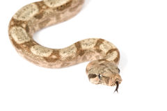 Hog Island Boa Stock Photos