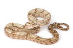 Hog Island Boa Royalty Free Stock Images
