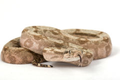Hog Island Boa Royalty Free Stock Photo