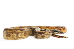 Hog Island Boa Constrictor Royalty Free Stock Photos