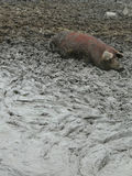 Hog laying in mud. Dy pig pen Stock Photos