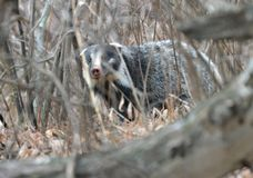 A hog-nosed badger. In the deadwood plexus,we met a timid  hog-nosed badger Stock Image