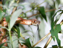 Hog Snake. A non poisonous hog nose snake in a tree Stock Photography