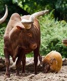 Hog vs watusi Stock Photography