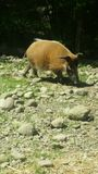 Hog at zoo Stock Photo